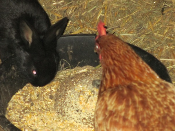 Black bunny that lives with the chickens