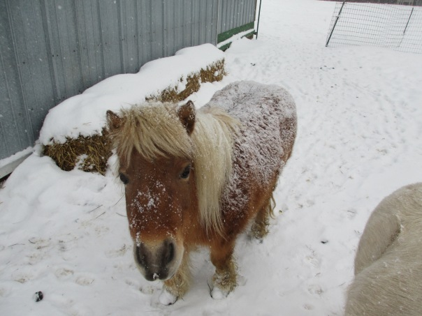 Snowy Horse...Laci the mini tank