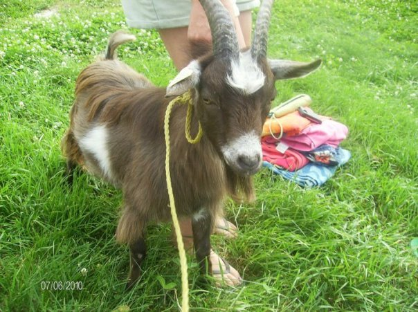 Billy Our First 'Butting' Goat