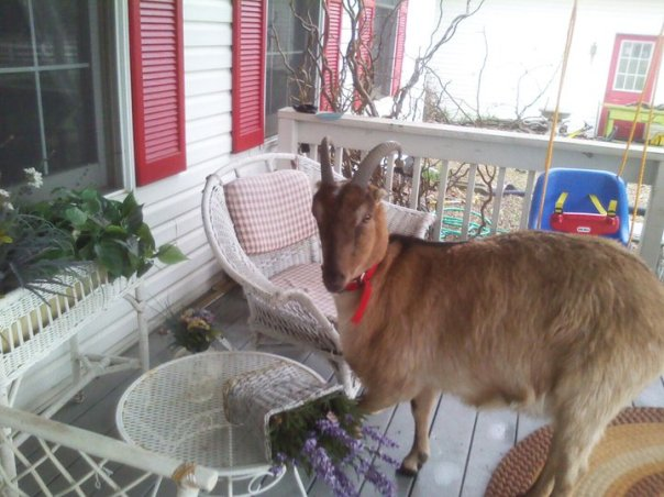 Jasper the escaping goat!