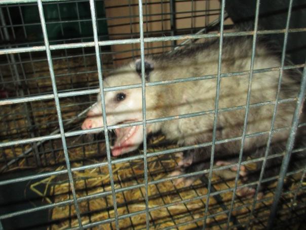 Another Possum