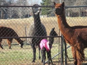 barn video goats tators 019